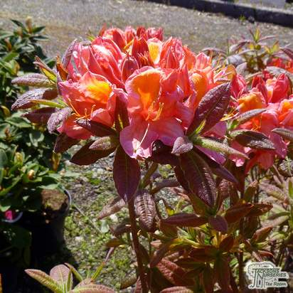 Buy Azalea Berryrose online from Jacksons Nurseries