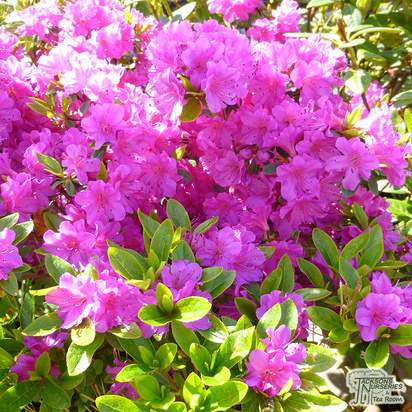 Buy Azalea japonica Blue Danube online from Jacksons Nurseries