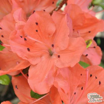 Buy Azalea japonica Geisha Orange 'Satschiko' (Evergreen Dwarf Japanese Azalea) online from Jacksons Nurseries