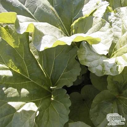 Buy Rhubarb - Rheum x hybridum 'Timperley Early' online from Jacksons Nurseries