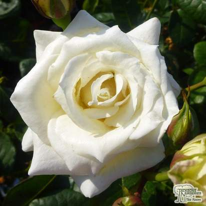 Buy Rosa Pascali online from Jacksons Nurseries