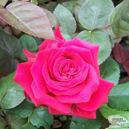 Buy Rosa National Trust (Hybrid Tea) online from Jacksons Nurseries