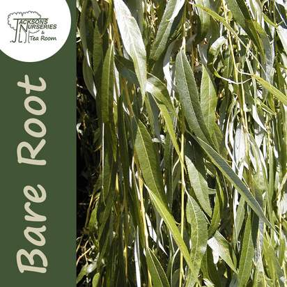 Buy Salix x sepulcralis Chrysocoma Golden Weeping Willow 40-60cm 1+1 Bare Root online from Jacksons Nurseries