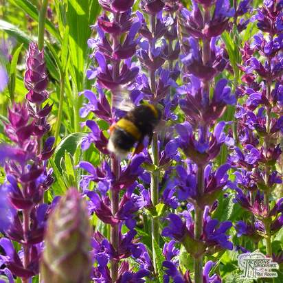 Buy Salvia nemorosa Ostfriesland (Meadow Sage) online from Jacksons Nurseries