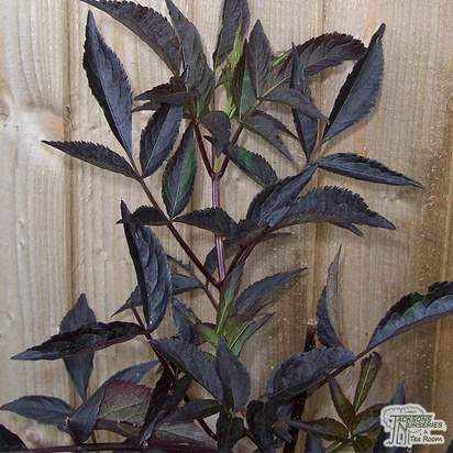 Buy Sambucus nigra f. porphyrophylla 'Gerda' (syn Black Beauty) online from Jacksons Nurseries