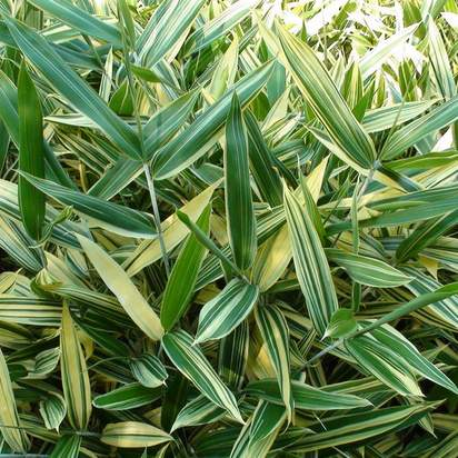 Buy Sasaella masamuneana Albostriata online from Jacksons Nurseries