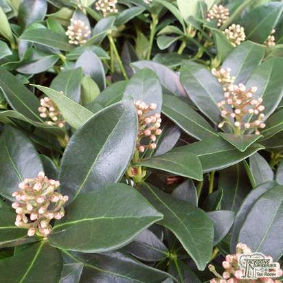 Buy Skimmia japonica Olympic Flame (Japanese Skimmia (Female)) online from Jacksons Nurseries