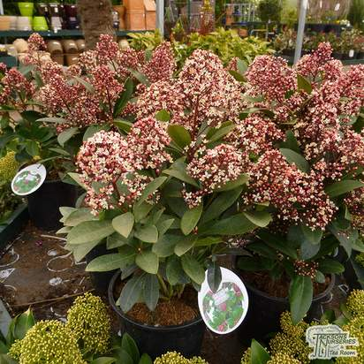 Buy Skimmia japonica Rubella (Japanese Skimmia) online from Jacksons Nurseries