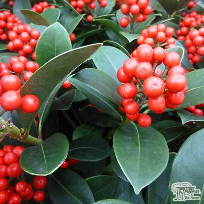 Buy Skimmia japonica Veitchii (Foremanii) (Japanese Skimmia) online from Jackson's Nurseries.