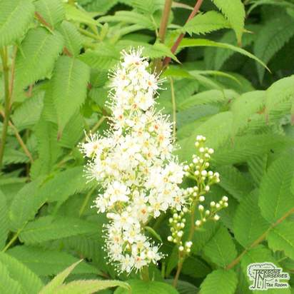 Buy Sorbaria sorbifolia Sem (False spiraea) online from Jacksons Nurseries