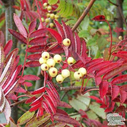 Buy Sorbus aucuparia Joseph Rock (Rowan) online from Jacksons Nurseries