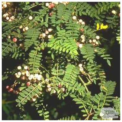 Buy Sorbus vilmorinii (Vilmorin Rowan) online from Jacksons Nurseries