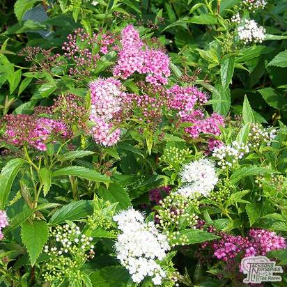 Buy Spiraea japonica Genpei(Shirobana) (Japanese Spiraea) online from Jacksons Nurseries
