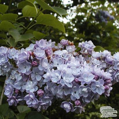Buy Syringa vulgaris Katherine Havemeyer (Common Lilac) online from Jacksons Nurseries