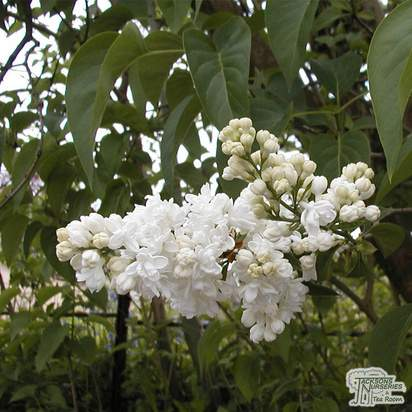Buy Syringa vulgaris Madame Lemoine (Common Lilac) online from Jacksons Nurseries