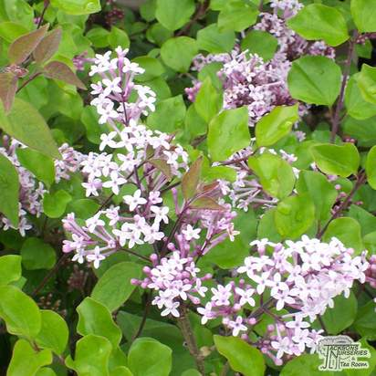Buy Syringa meyeri Palibin online from Jacksons Nurseries