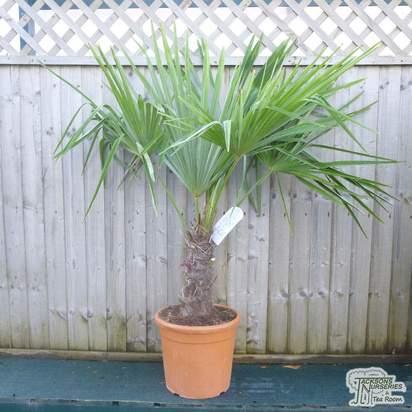 Buy Trachycarpus fortunei (Chusan Palm) online from Jacksons Nurseries