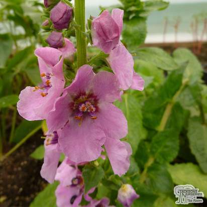 Buy Verbascum Pink Domino online from Jacksons Nurseries