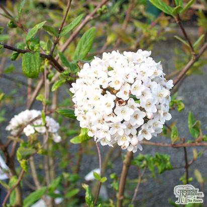 Buy Viburnum x burkwoodii Anne Russell (Laurustinus) online from Jacksons Nurseries