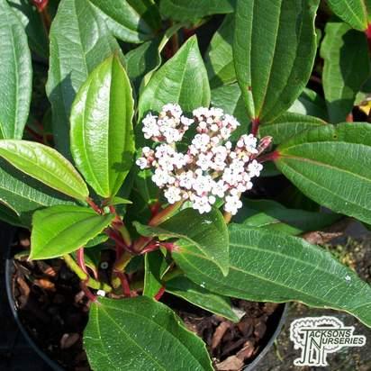 Buy Viburnum davidii (Viburnum) online from Jacksons Nurseries