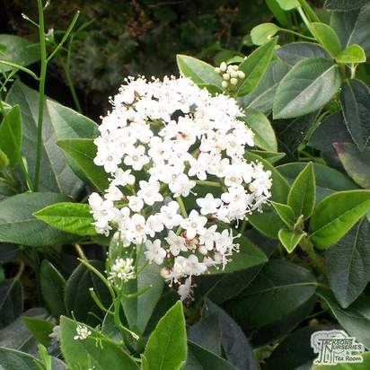 Buy Viburnum tinus (Laurustinus) online from Jacksons Nurseries