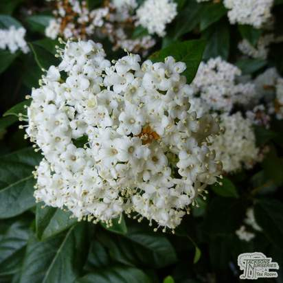 Buy Viburnum tinus Eve Price (Laurustinus) online from Jacksons Nurseries
