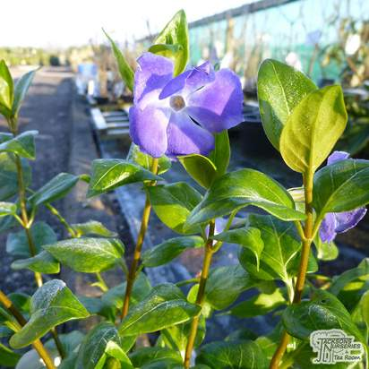 Buy Vinca major (Greater Periwinkle) online from Jacksons Nurseries