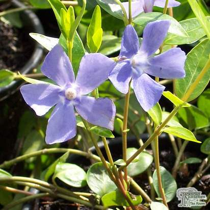 Buy Vinca minor (Lesser Perwinkle) online from Jacksons Nurseries