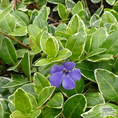 Buy Vinca minor Argenteovariegata (Variegated Perwinkle) online from Jacksons Nurseries