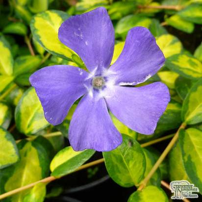 Buy Vinca minor Illumination (Lesser Perwinkle) online from Jacksons Nurseries