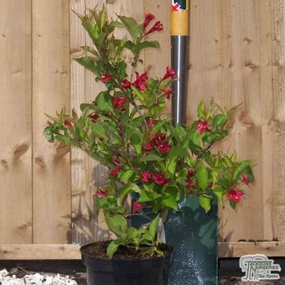 Buy Weigela Red Prince online from Jackson's Nurseries