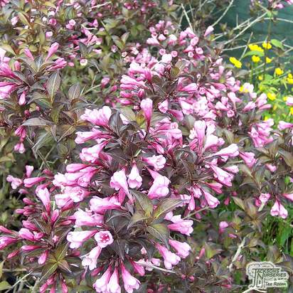 Buy Weigela florida Foliis Purpureis (Purple Weigela) online from Jacksons Nurseries