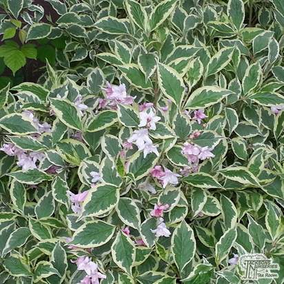 Buy Weigela florida Nana Variegata (Variegated Weigela) online from Jacksons Nurseries