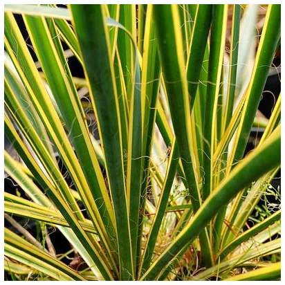 Buy Yucca filamentosa Bright Edge (Adam's Needle) online from Jacksons Nurseries