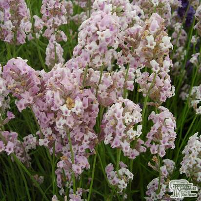 Buy Lavandula angustifolia Rosea (Lavender) online from Jacksons Nurseries