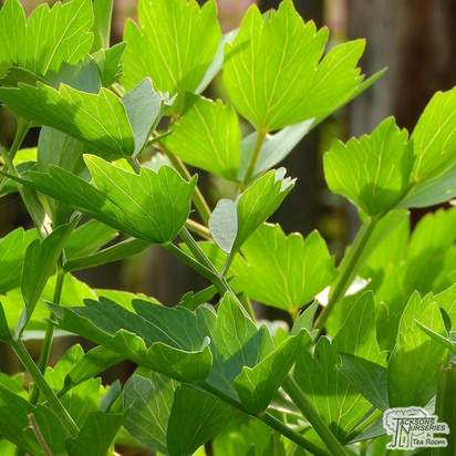Buy Lovage (Levisticum Officinale) online from Jacksons Nurseries