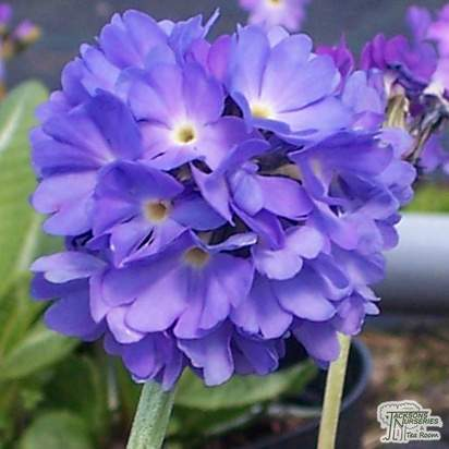 Buy Primula denticulata (Drumstick Primula) online from Jacksons Nurseries