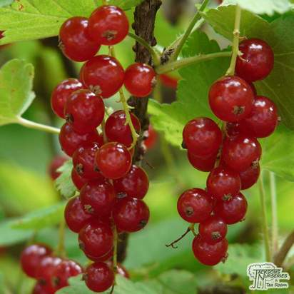 Buy Redcurrant - Ribes rubrum 'Red Lake' online from Jacksons Nurseries