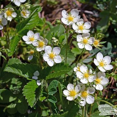 Buy Strawberry - Fragaria x ananassa 'Cambridge Favourite' online from Jacksons Nurseries
