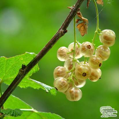 Buy Whitecurrant - Ribes rubrum 'Versailles Blanche' online from Jacksons Nurseries