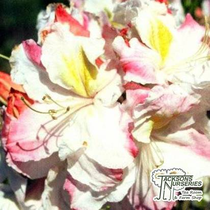 Buy Azalea ex/knap Arctic Flush (Evergreen Azalea) online from Jacksons Nurseries.
