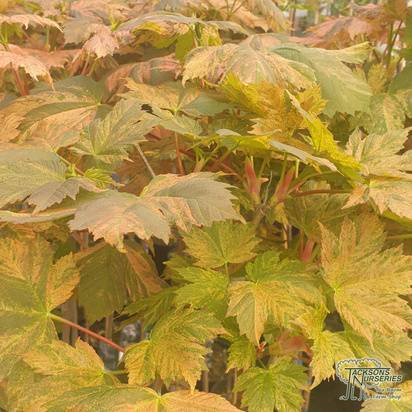Buy Acer pseudoplatanus Hermitage (Sycamore) online from Jacksons Nurseries