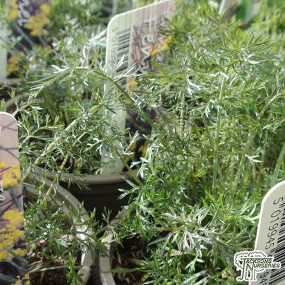 Buy Foeniculum vulgare Purpreum (Fennel) in the UK.