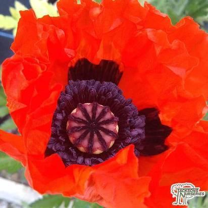 Buy Papaver-orientale Beauty of Livermere (Oriental Poppy)in the UK