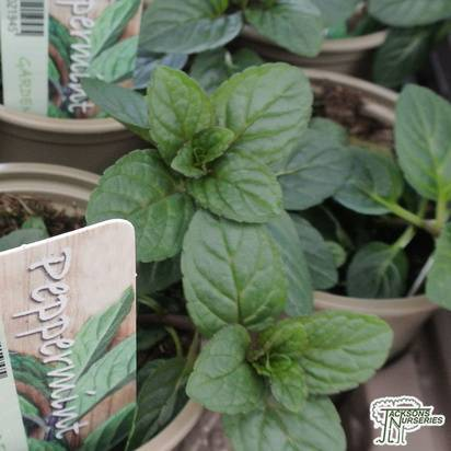 Buy Peppermint (Mentha x piperita) in the UK.
