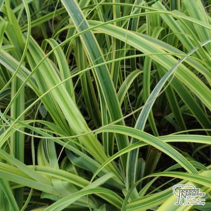 Buy Carex trifida Rekohu Sunrise (Sedge) online from Jacksons Nurseries.