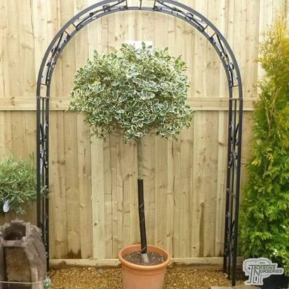 Buy Ilex aquifolium Argentea Marginata Lollipop (Dwarf Variegated Tree Form) online from Jacksons Nurseries