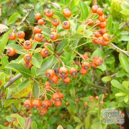 Buy Pyracantha Red Cushion (Firethorn) in the UK.