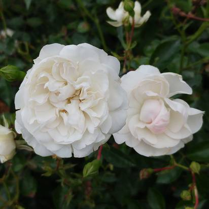 Buy Rosa 'Swany' (Groundcover Rose) online from Jacksons Nurseries.