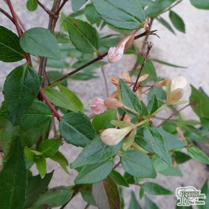 Buy Abelia x grandiflora (Abelia) online from Jacksons Nurseries